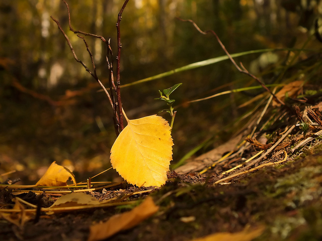 autumn fall leaf