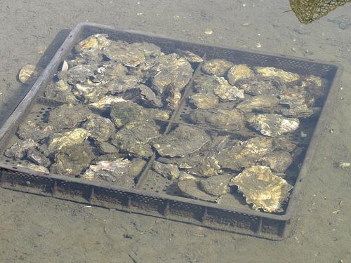 Jones Family Farm Oysters