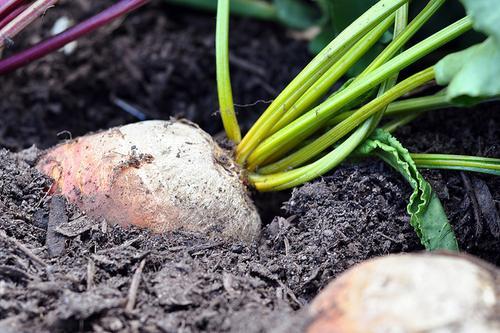 carrot in the soil
