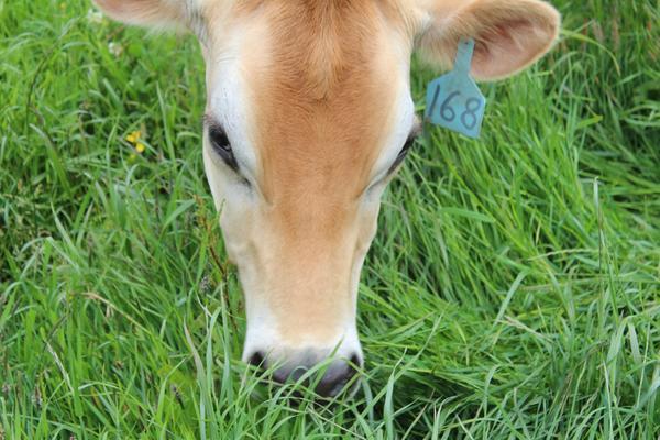 cow 168