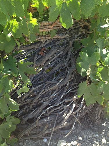 assyrtiko santorini white wine