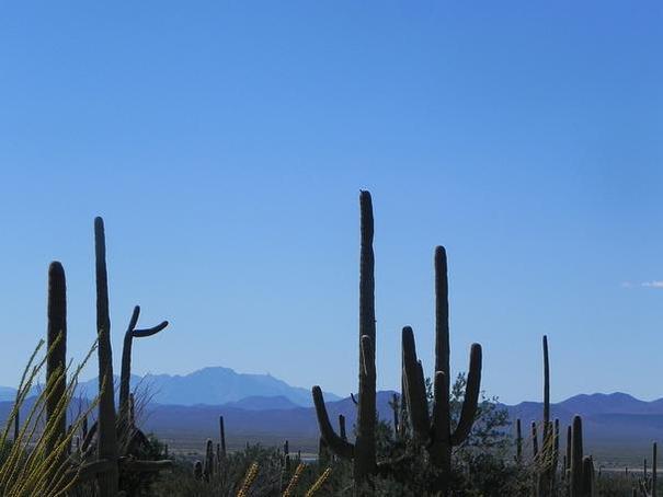 Suguaros in Tucson
