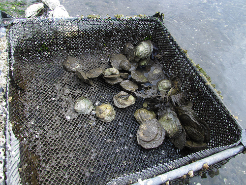 European Flat Belon Oysters Jones Family Farms