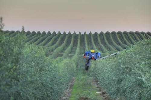 california olive oil