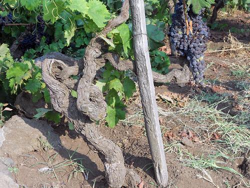 mount etna wines